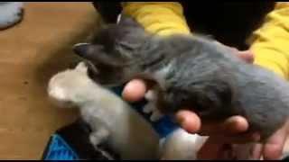 母猫が発情期に脱走、かなり腹が大きくなってから妊娠だと気付き生ませ...
