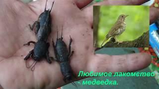 Певчие птицы Украины.Дрозд.Animal world.