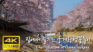 [울산여행] [4K]집에서 즐기는 울산 궁거랑 벚꽃놀이…
