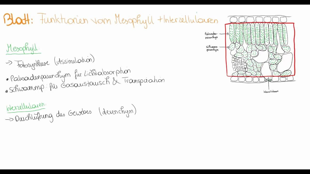 Blatt: Funktionen des Mesophylls + Interzellularen - YouTube