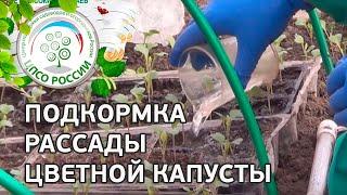 Чем и как подкормить рассаду капусты.(Смотрите видео о том, как мы проводили подкормку капусты в теплице проекта