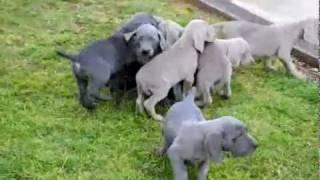Weimaraner Puppies - Www.greenfieldpuppies.com
