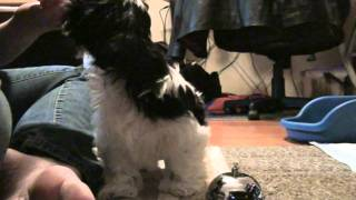 Shih Tzu Howie Clicker/Target Training to Ring a Bell