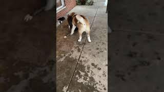 American Akita vs pitbull playing turns into real fight !