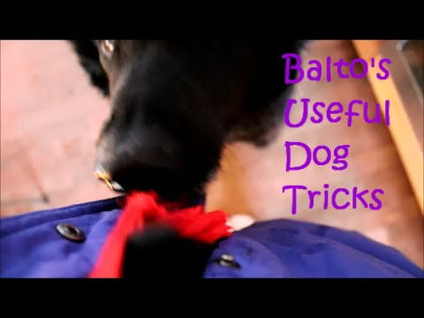Useful Dog Tricks performed by Balto the Curly Coated Retriever