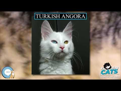 Turkish Angora 🐱🦁🐯 EVERYTHING CATS 🐯🦁🐱