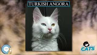 Turkish Angora  EVERYTHING CATS