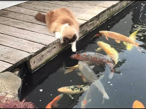 Timo the Ragdoll Cat among his Koi Fish buddies