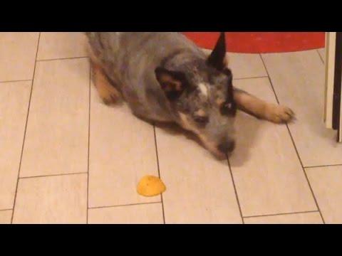 Funny australian cattle dog vs lemon