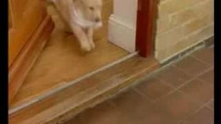 Labrador Retriever - Training