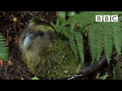 Clumsy Kakapo: The flightless parrot - Natural World: Nature's Misfits preview - BBC Two