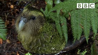 The cute and clumsy flightless parrot | Natural World: Nature's Misfits - BBC