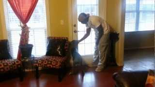 Great Dane (Maximus) Bell Potty Training