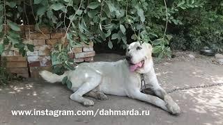 Неаборигенный цепной пёс, неизвестного происхождения