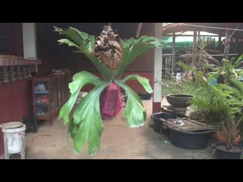 Platycerium Wandae - Staghorn fern - Elkhorn ชายผ้าสีดา