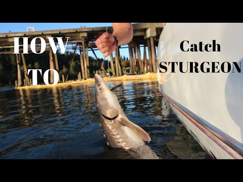 How To Catch Sturgeon | Rigging Tips & Tricks | *How To Catch BIG Fish*