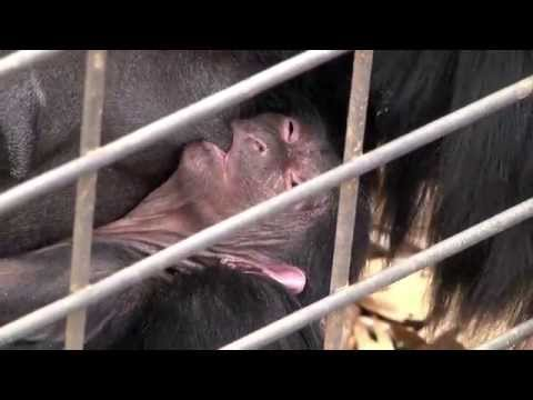 Thumbnail: Greenville Zoo Announces Birth of Endangered Siamang