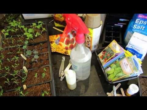 Using Making Neem Oil Soap Spray For Vegetable Seedlings Transplants Fungi Molds Pests