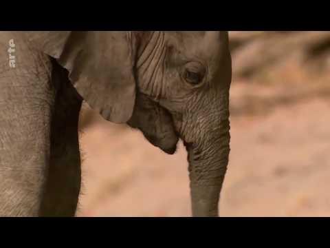 Vidéo Les éléphants du désert