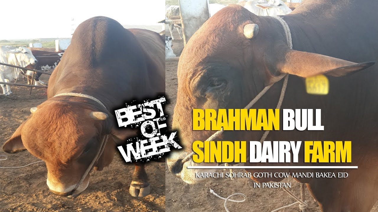 001 || Brahman Bull Sindh Dairy Farm || 2017 || 2018 || Cattle Farm ||  Karachi Sohrab Goth Cow Mandi