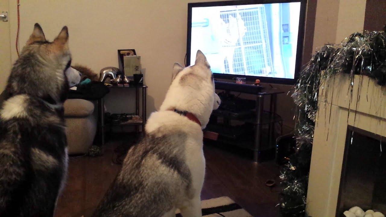 Image result for husky dog, watch tv