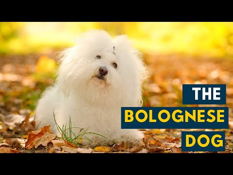 Bolognese Dog: Your Guide to The Charming, Fluffy White Dog!
