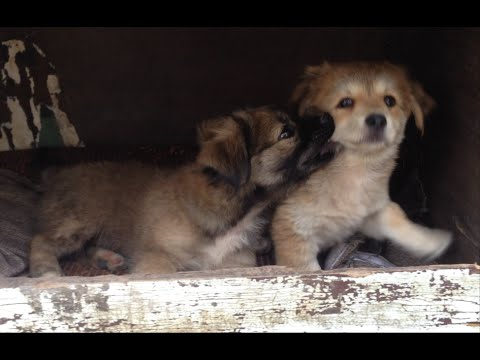 Stray Puppies In China Playing With Sibling In Wooden Box_Boris Part 5
