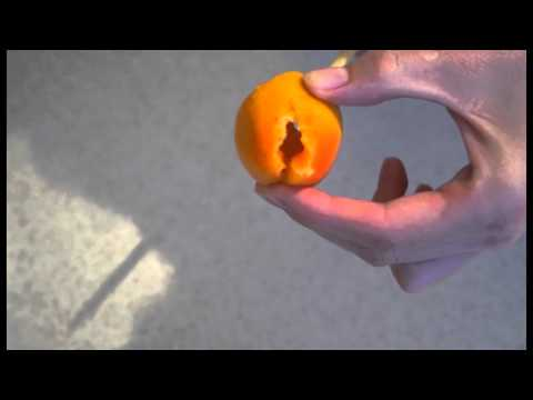 Как отделить косточку от абрикоса не повреждая плод?