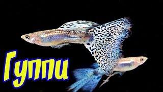 Аквариумная рыбка  Гуппи! Содержание, уход, кормление и разведение Гуппи!