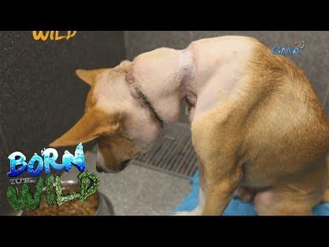 Born to Be Wild: Rescuing a dog with a wire tied tightly around its neck