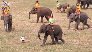 เพลงช้าง ช้าง ช้าง |ช้างเตะบอล | ช้างเต้น |แสดงช้างสุรินทร์ | งานช้างสุรินทร์ ปี 60