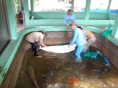 Arapaima gigas at hai thanh koi farm avi youtube for Koi farm melbourne