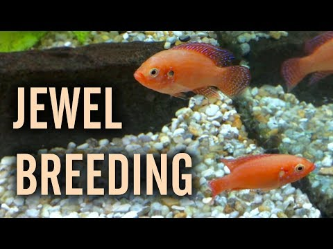 Red Jewel Cichlids Breeding in a Community Tank