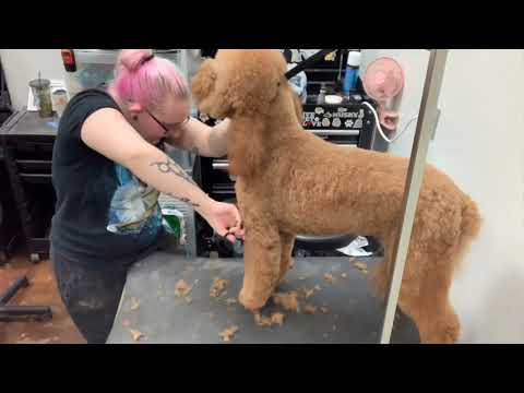 Grooming Roux the Labradoodle