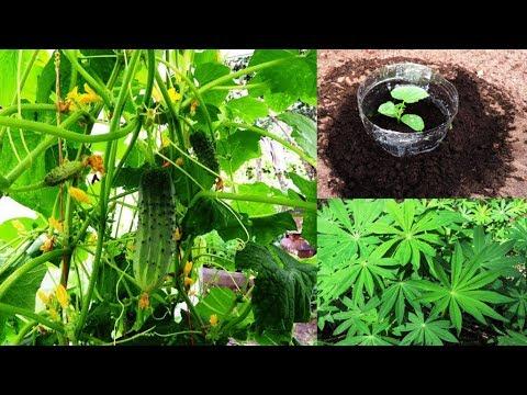 Огурцы 🥒 на люпине 🍀 или до 30 кг с куста за сезон (fertilizer For Cucumbers) ч. 1