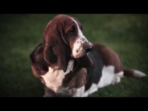 Basset Hound - Dog Breed Information