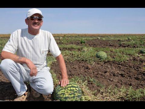 Фермер Сергей Лещенков. Выращивание суходольного арбуза