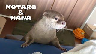 カワウソコタローとハナ 5時起きハナのモーニングルーティン Otter Hana 5AM Early Morning Routine!