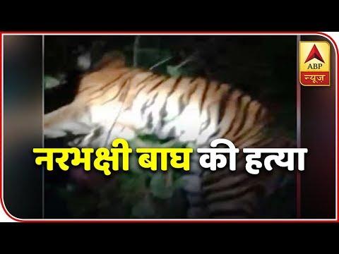 UP: People Kill Man-Eater Tiger In Lakhimpur | ABP News