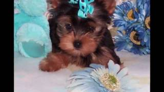 Lovely Yorkies In Yorkie Clothes