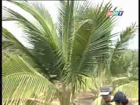 Kỹ thuật trồng dừa xiêm dứa .flv