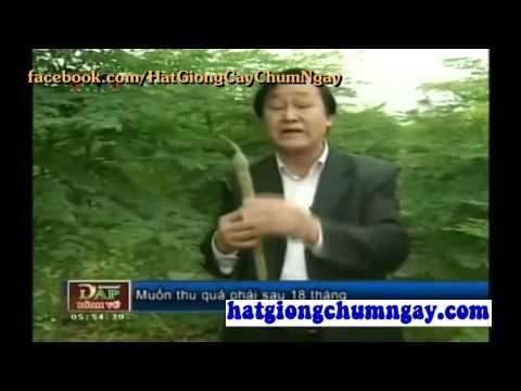 Giáo sư tiến sĩ nói về tác dụng cây chùm ngây - Mua bán hạt cây chùm ngây giá rẻ nhất toàn quốc