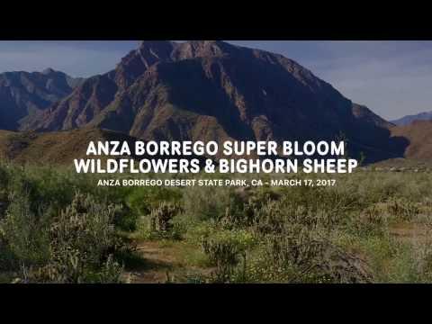 Anza-Borrego Super Bloom Wildflowers & Bighorn Sheep 2017 - Anza Borrego Desert SP, CA