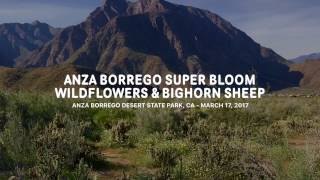 It's a super bloom! Anza Borrego Desert is exploding with wildflowe...