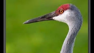 ENDANGERED Sandhill Cranes up close!! |Ruby's Zoo