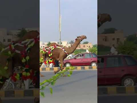 Qurbani Cow Attack Angry camel running be...