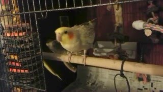 Female Cockatiel Mating Dance