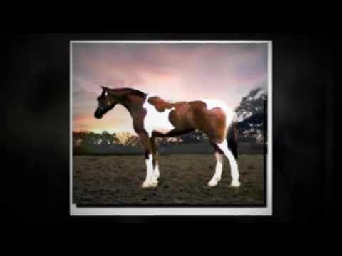 99% Arabian TriColor Pinto Mare