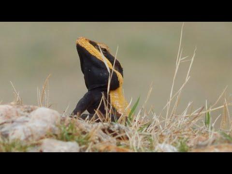 Lizard awesome HD video!!👌