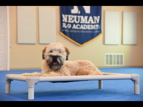 Oscar (Wheaten Terrier) Puppy Camp Dog Training Video Demonstration